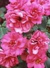 ちざきバラ園 Pink la Sevillana