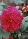 ちざき薔薇園 L.D.Braithwaite