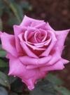 ちざきバラ園 紫雲